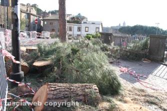 Viterbo - Abbattuti alcuni pini in via Ascenzi