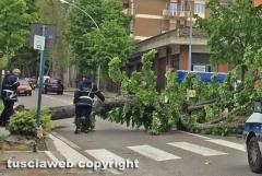 Viterbo - Albero crolla in viale Trieste