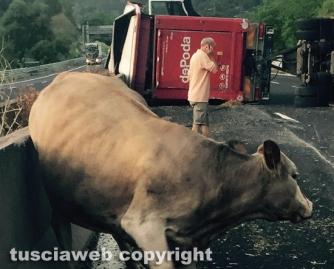 Camion carico di bovini si ribalta sulla A1