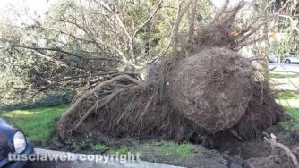 Viterbo - Albero caduto nel parco vicino a porta Romana