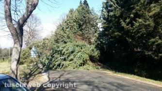 Maltempo - Viterbo - Cassia Sud un pino è crollato e ha interrotto il traffico
