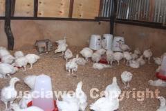 I pulcini della fattoria di Langobaya