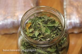 Bassano Romano - Sequestrata piantagione di droga e deposito di armi - La marijuana