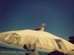 Gabbiano appollaiato al sole - Isole Tremiti - Giuseppina Olimpieri