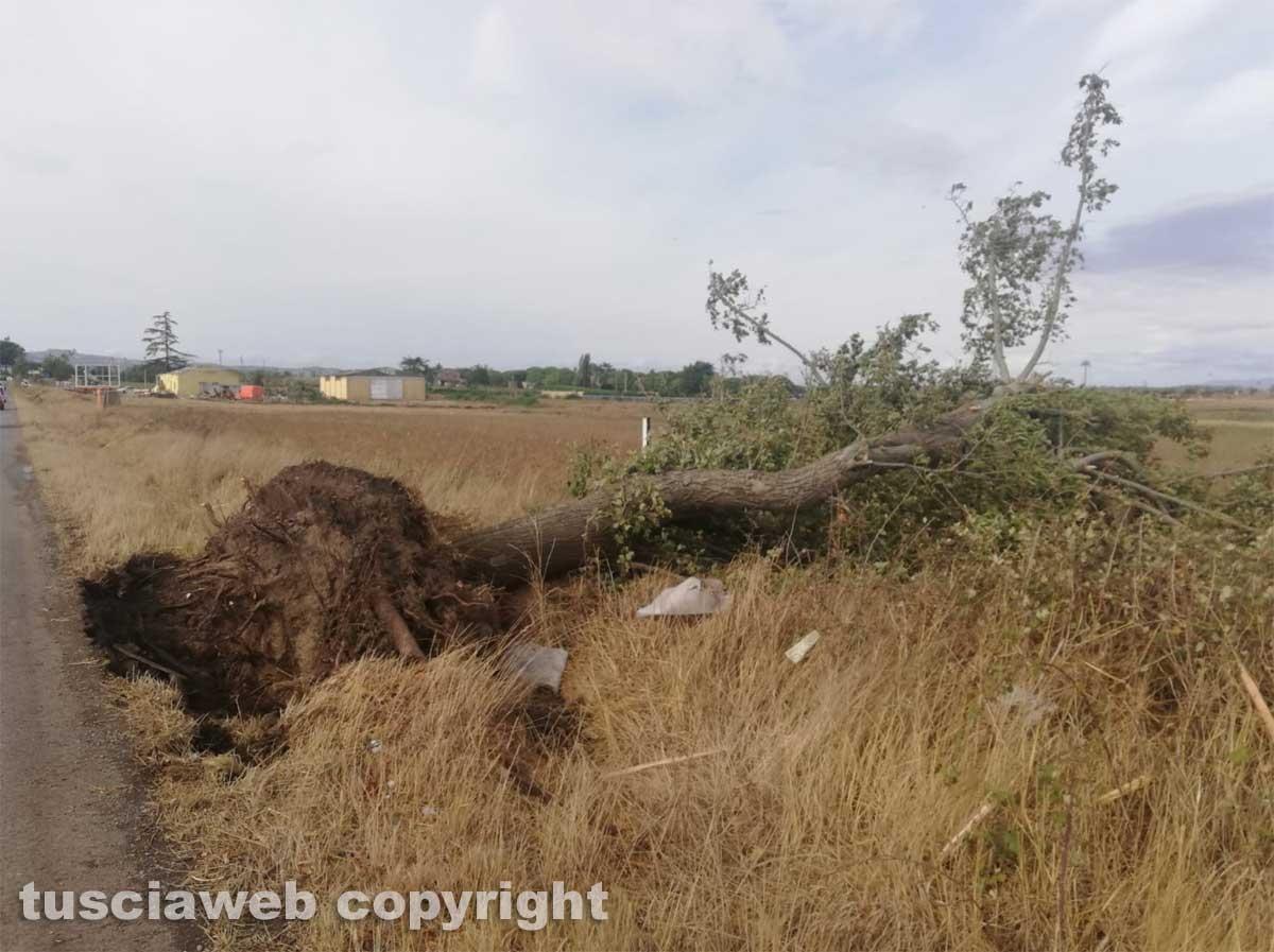 Maltempo - Tromba d'aria nella zona nord di Viterbo - Un albero sradicato