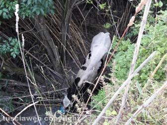 Montefiascone - Vitello precipita in un fosso