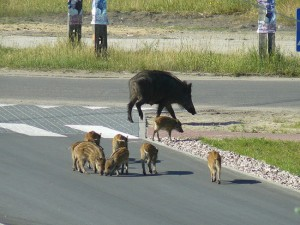 Cinghiali in mezzo alla strada