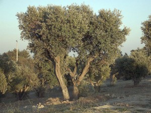 Un olivo