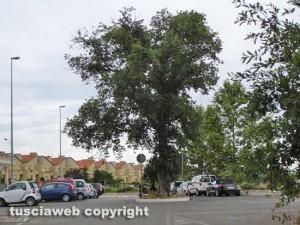 Le querce abbattute erano pericolose for Alberi simili alle querce