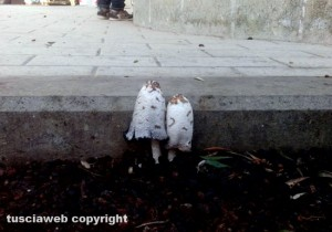 Viterbo - Funghi sull'asfalto al quartiere Santa Barbara