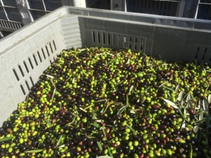 Olive raccolte