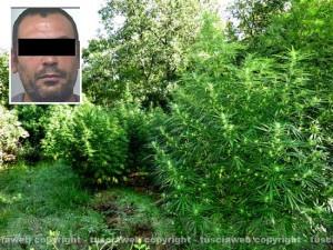 Tuscania - La selva di droga scoperta nel 2012; nel riquadro: Franco Orrù, il pastore sardo condannato