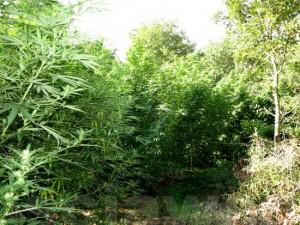 Tuscania - La selva di droga scoperta nel 2012