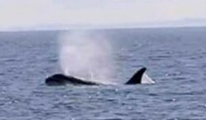 Orca avvistata tra Ponza e Gaeta