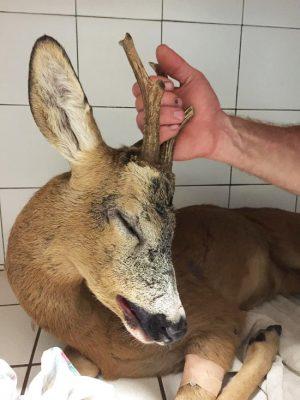 Salvato capriolo in fin di vita for Capriolo animale