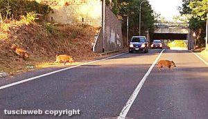 Viterbo - I cinghiali attraversano la strada
