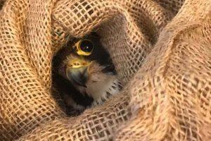 Viterbo - Trovato un falco ferito al Caffeina Christmas village