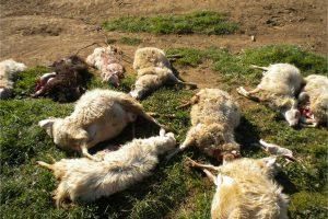 Ischia di Castro - Gregge di pecore sterminato dai lupi