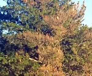 Processionarie su un albero