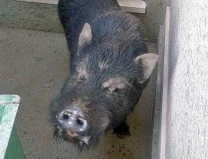 Montefiascone - Il maiale vietnamita catturato nel cimitero