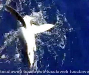 Montalto di Castro - Lo squalo che ha azzannato il pescatore 27enne