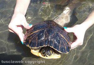 Capodimonte - Tartaruga di acqua dolce