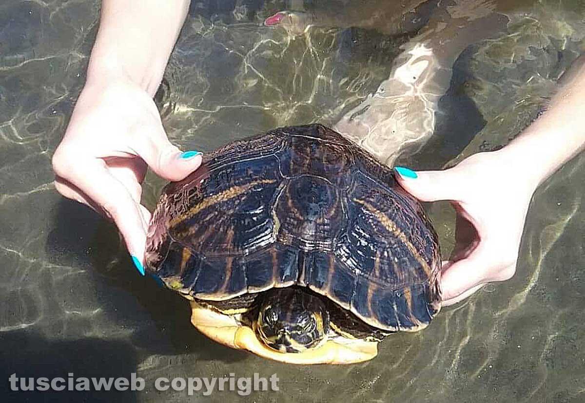 Questi esemplari di tartaruga sono pericolosi per l - Pagine di colorazione tartaruga ...