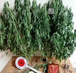 Carabinieri - Le piante di marijuana sequestrate