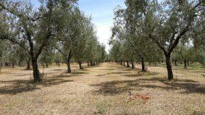 Vetralla - L'effetto della siccità in un oliveto