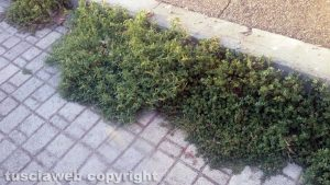 Viterbo - Erbacce in via degli Etruschi