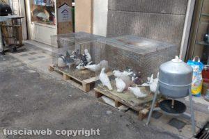 Viterbo - I piccioni esposti in strada