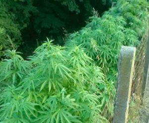 Una coltivazione di cannabis
