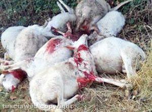 Gruppo di pecore ucciso dai lupi vicino Roccalvecce
