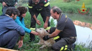 Pisa - Vigili del fuoco salvano labrador