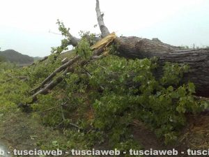 Tuscania - Alberi crollati per la tromba d'aria