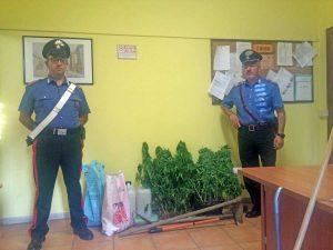 Le piante di marijuana sequestrate dai carabinieri di Canino