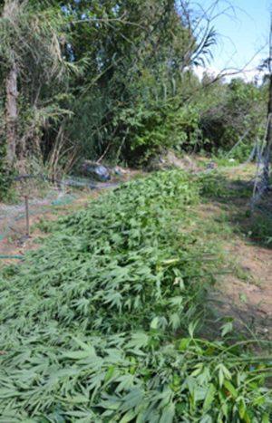 Alcune piante di canapa indiana tagliate
