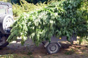 Alcune piante di canapa indiana tagliate e trasportate al comando provinciale