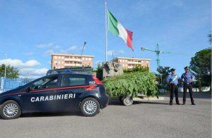 Viterbo - Carabinieri - Le piante di canapa indiana sequestrate