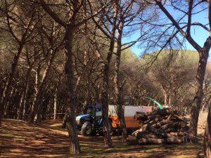 L'abbattimento dei pini a Montalto di Castro