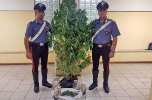 Le piante di marijuana sequestrate dai carabinieri di Farnese