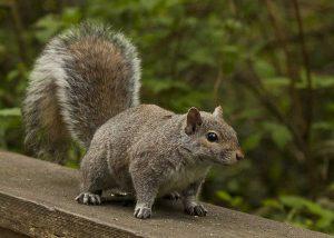 Uno scoiattolo