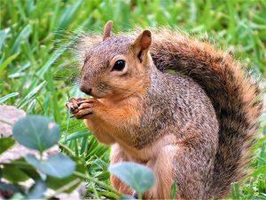 Uno scoiattolo rosso