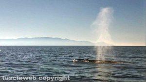 Una delle due balene avvistate all'Argentario