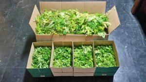 Orte - Le piante di marijuana sequestrate dai carabinieri