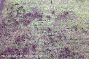 Viterbo - Le impronte dei cinghiali nel giardino condominiale di via Belluno