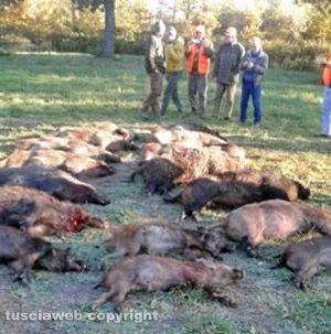 Tuscania - I cinghiali abbattuti alla cacciata di ieri alla Pantalla