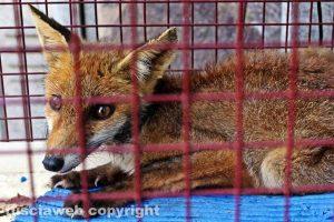 Tuscania - La volpe tratta in salvo - Foto Sabino Buzi