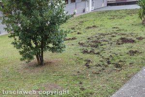 Viterbo - Impronte di cinghiali in un giardino di via I maggio
