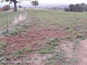Marta - I cinghiali devastano i campi dell'azienda agricola Le Macine